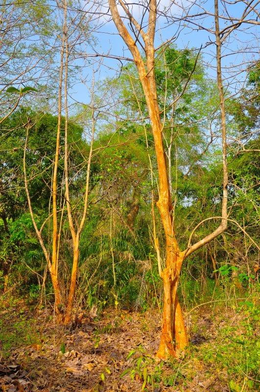 Coloridos árboles en Boabeng-Fiema