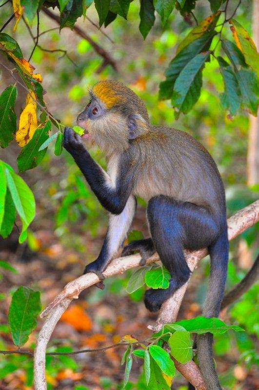 Mona Monkey comiendo frutos