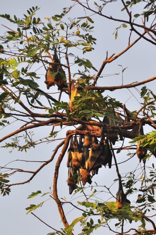 Zorros Voladores en Kumasi
