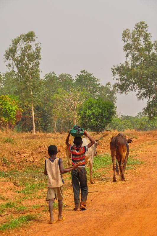 Niños conduciendo ganado