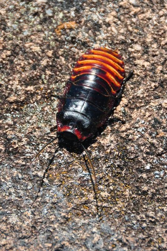 Cucaracha acorazada