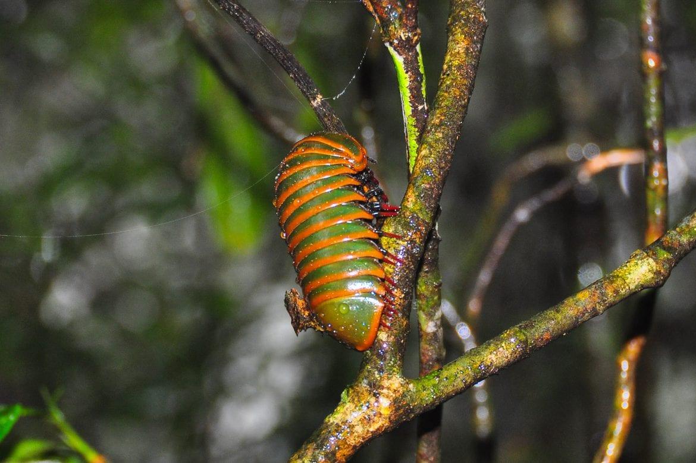 Insecto curioso en Ranomafana