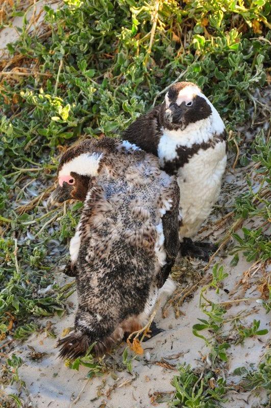 Pingüino Africano joven