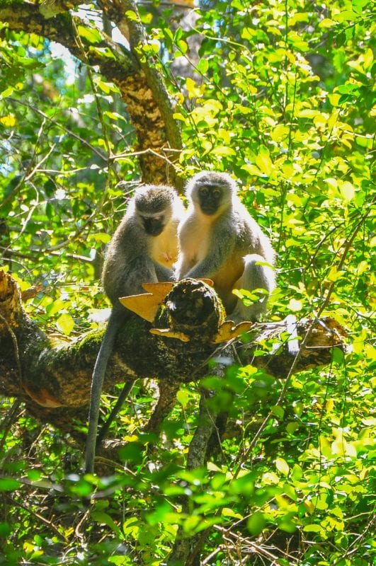 Verbet Monkeys