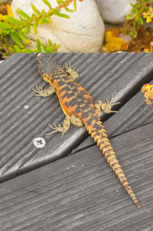 Cape Girdled Lizard