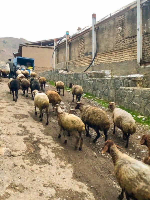 Pastor con sus ovejas en Alamut